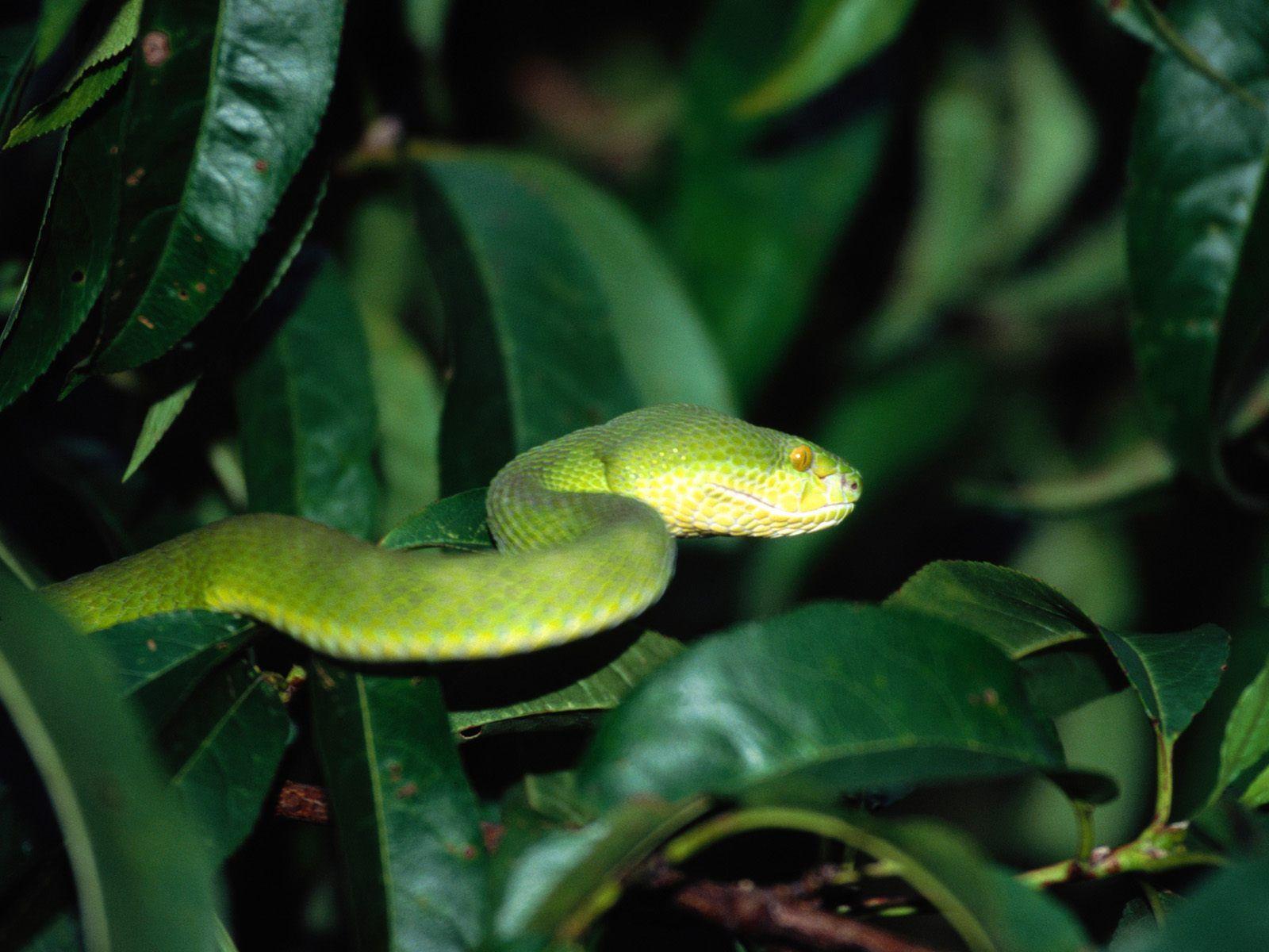 亚马逊电蛇