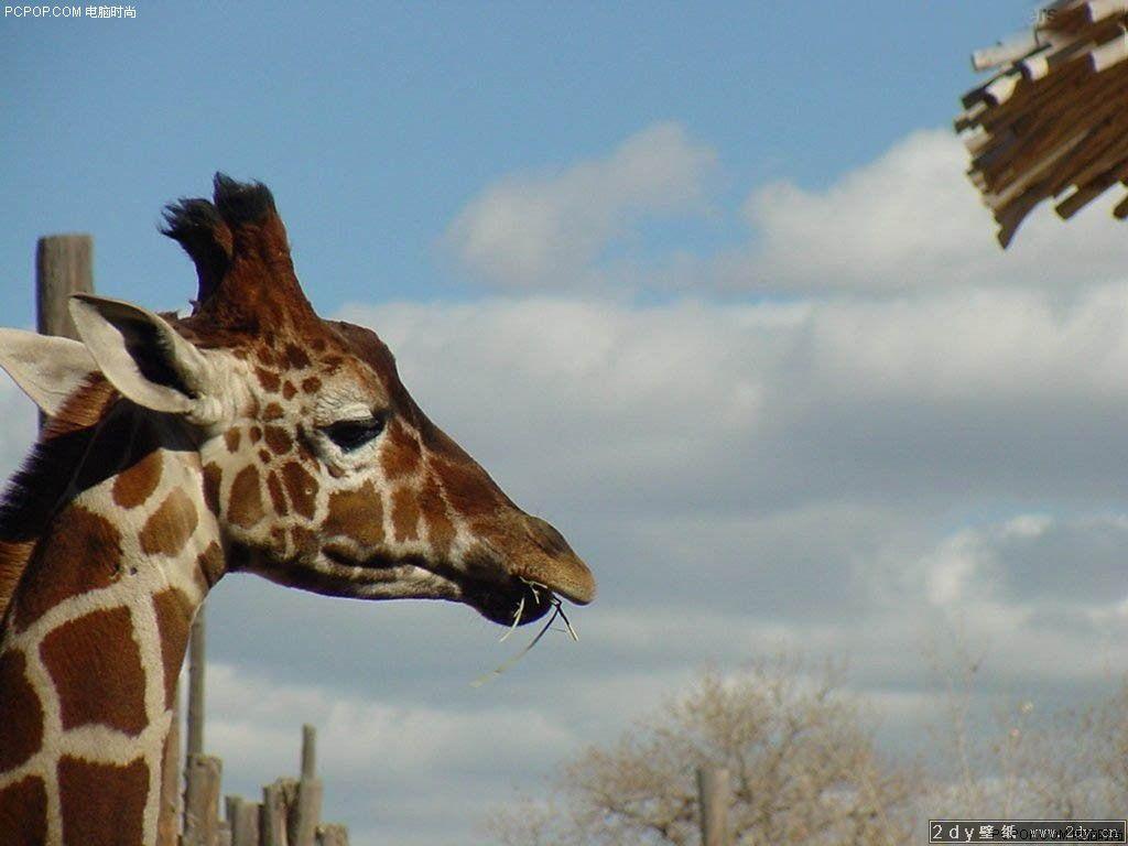 动物世界-非洲长颈鹿(1024x768)壁纸 - 桌面壁纸【--.