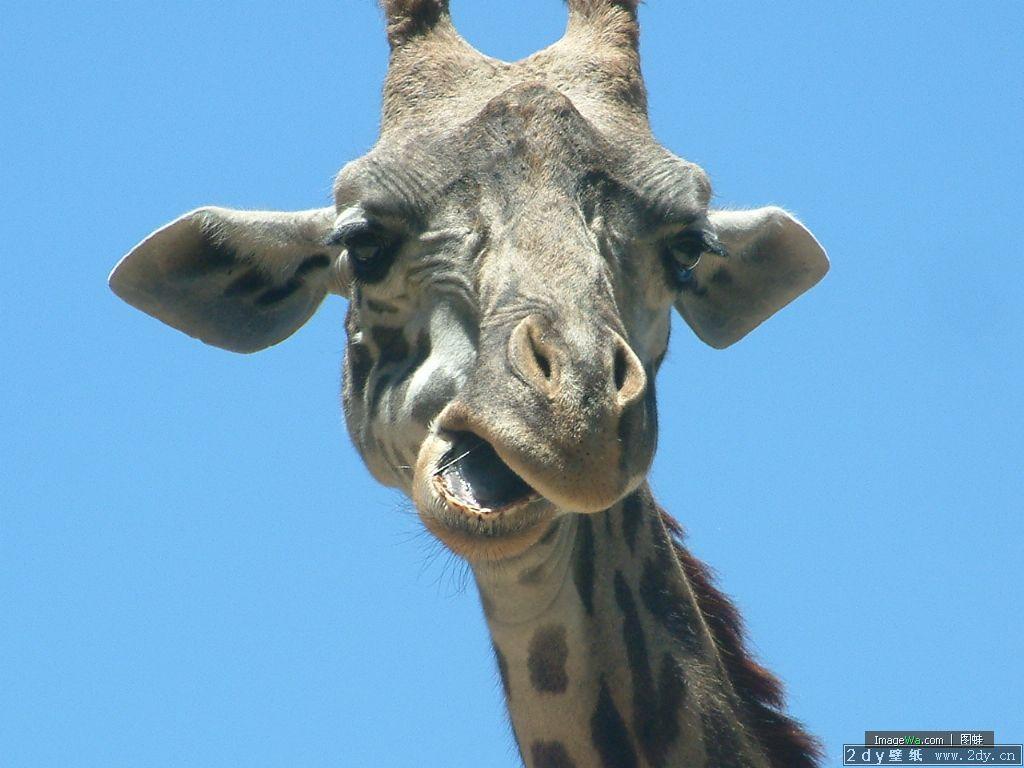 动物世界-非洲长颈鹿(1024x768)壁纸