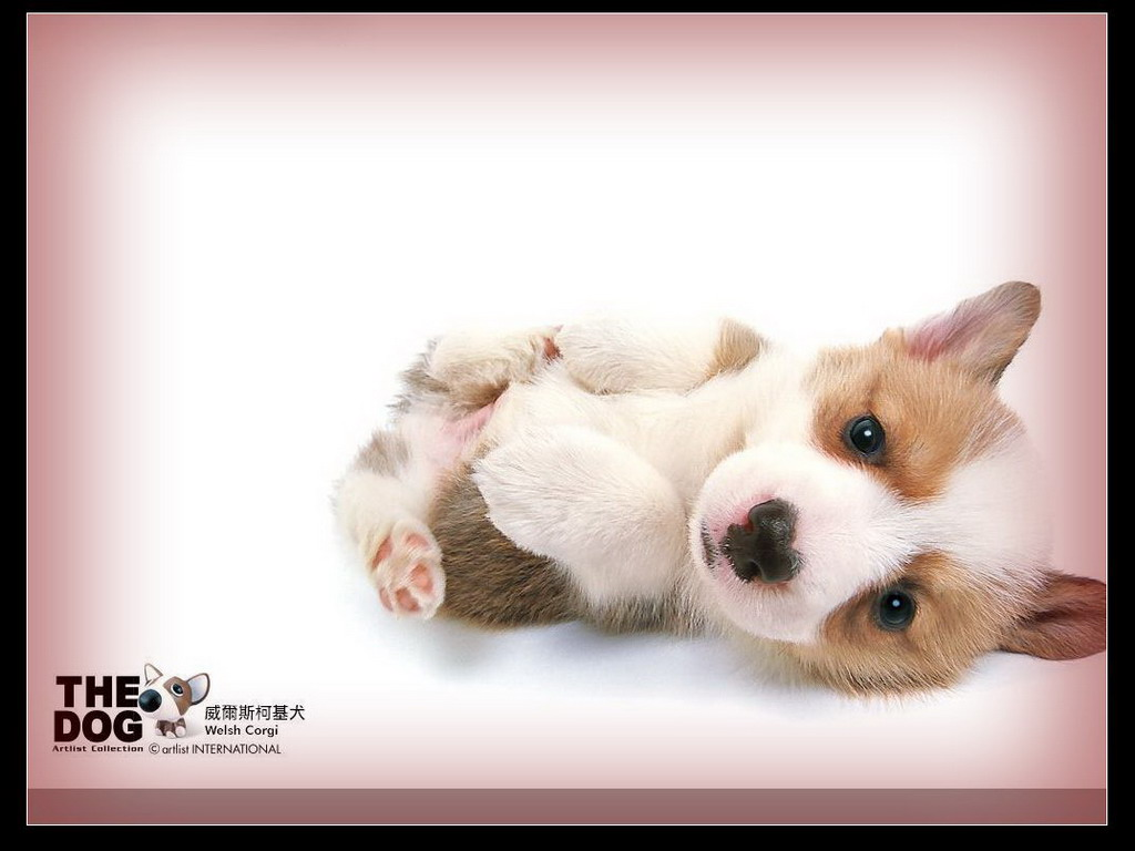 狗狗家族-柯基犬桌面(1024x768)壁纸 - 桌面壁纸【--.