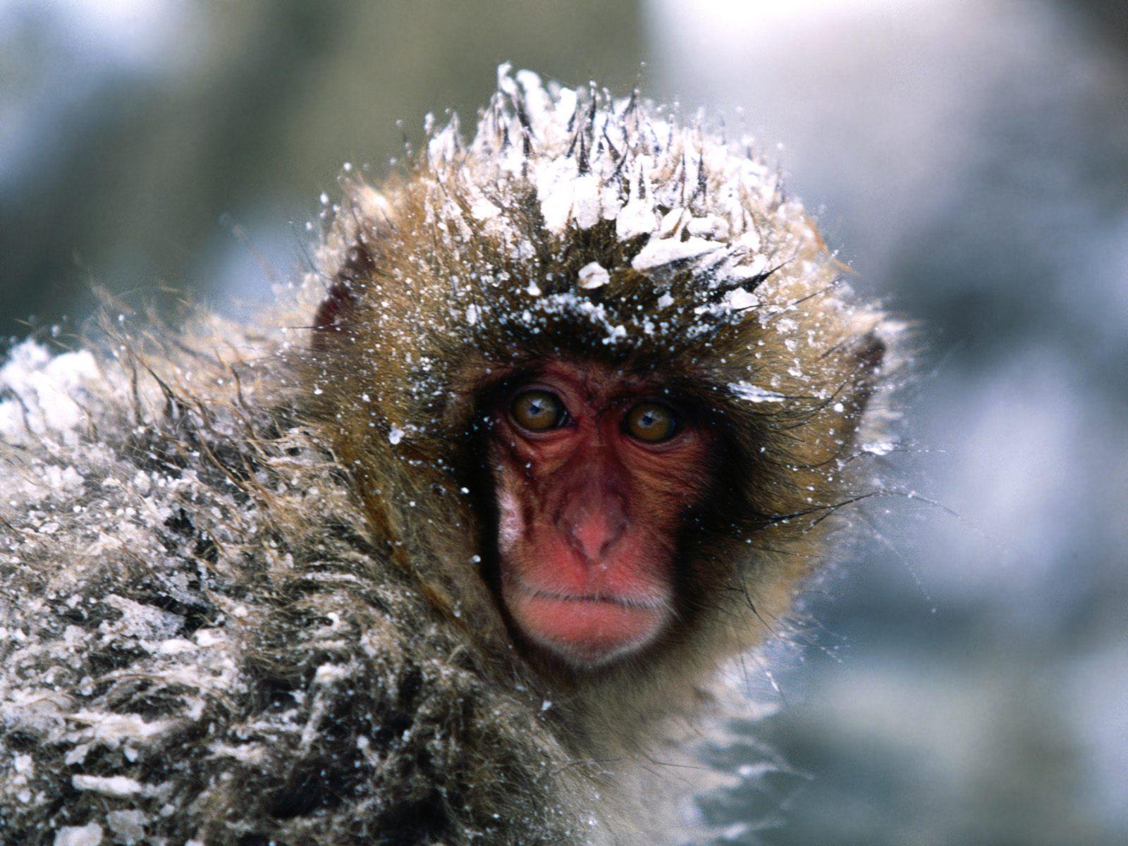 动物世界-猴子(1600x1200)壁纸