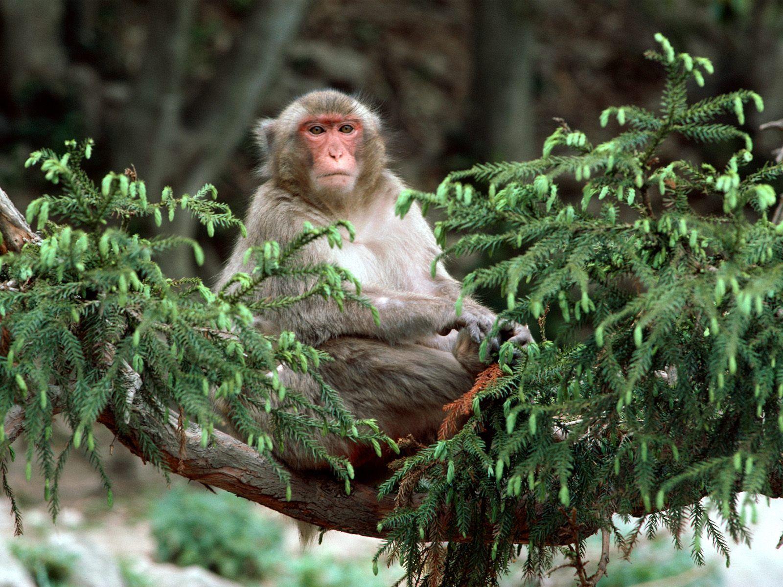 动物世界-猴子(1600x1200)壁纸 - 桌面壁纸【壁纸大卡