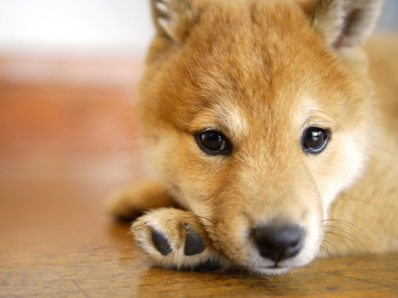 狗狗家族-日本柴犬(1280x960)壁纸 - 桌面壁纸【壁纸