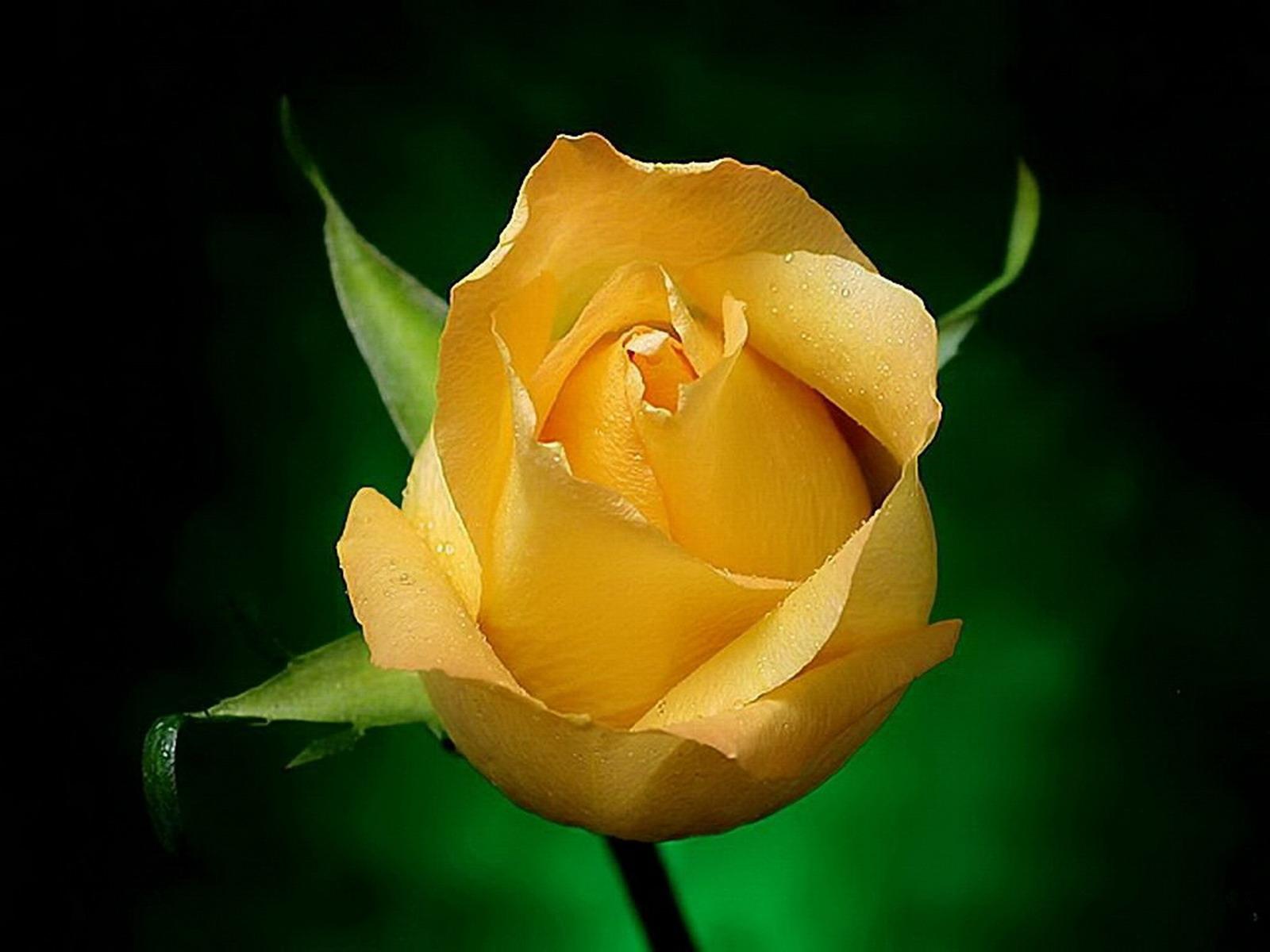 玫瑰2    >>>; 黄玫瑰