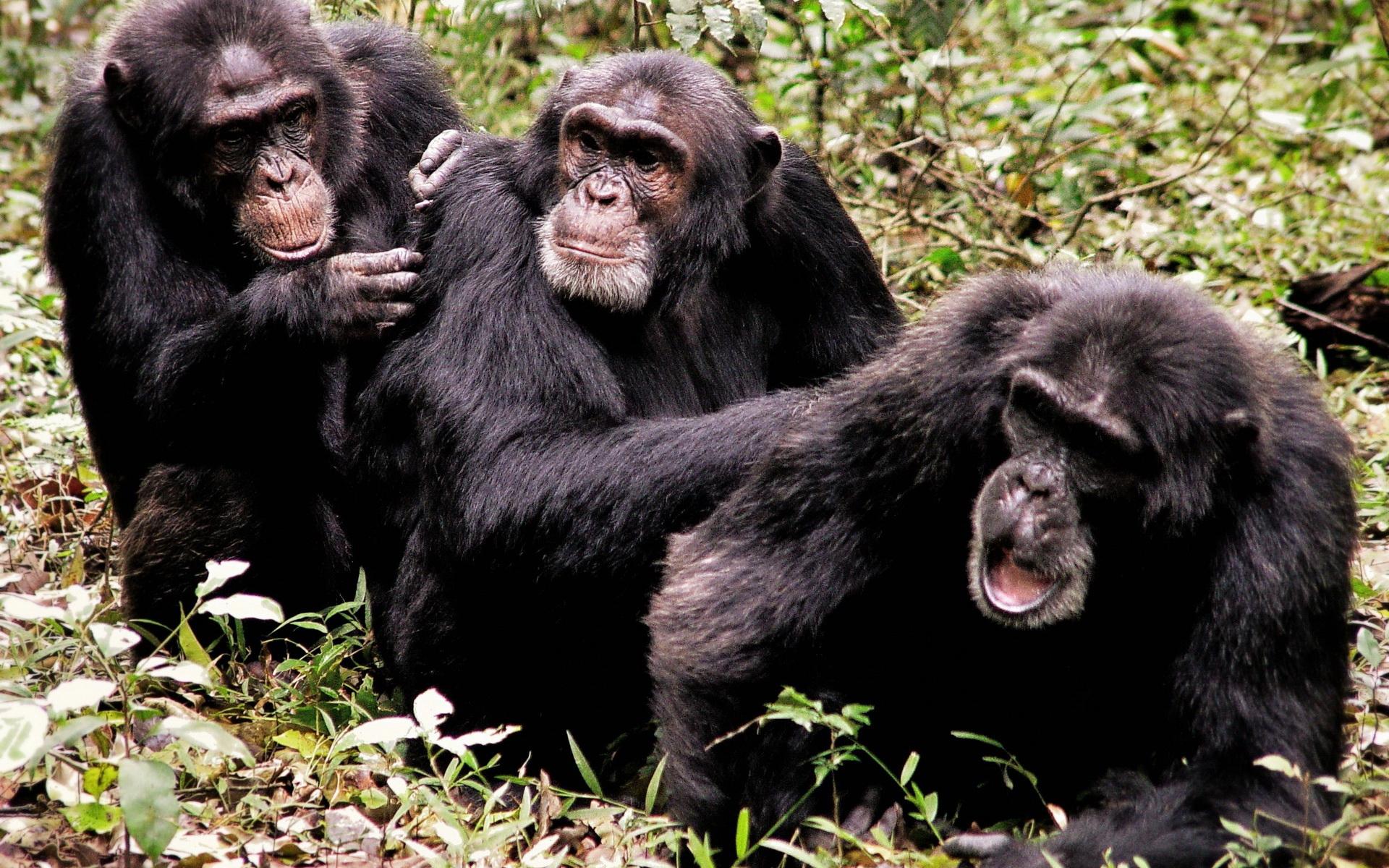 动物世界-猩猩猴子(1920x1200) 壁纸
