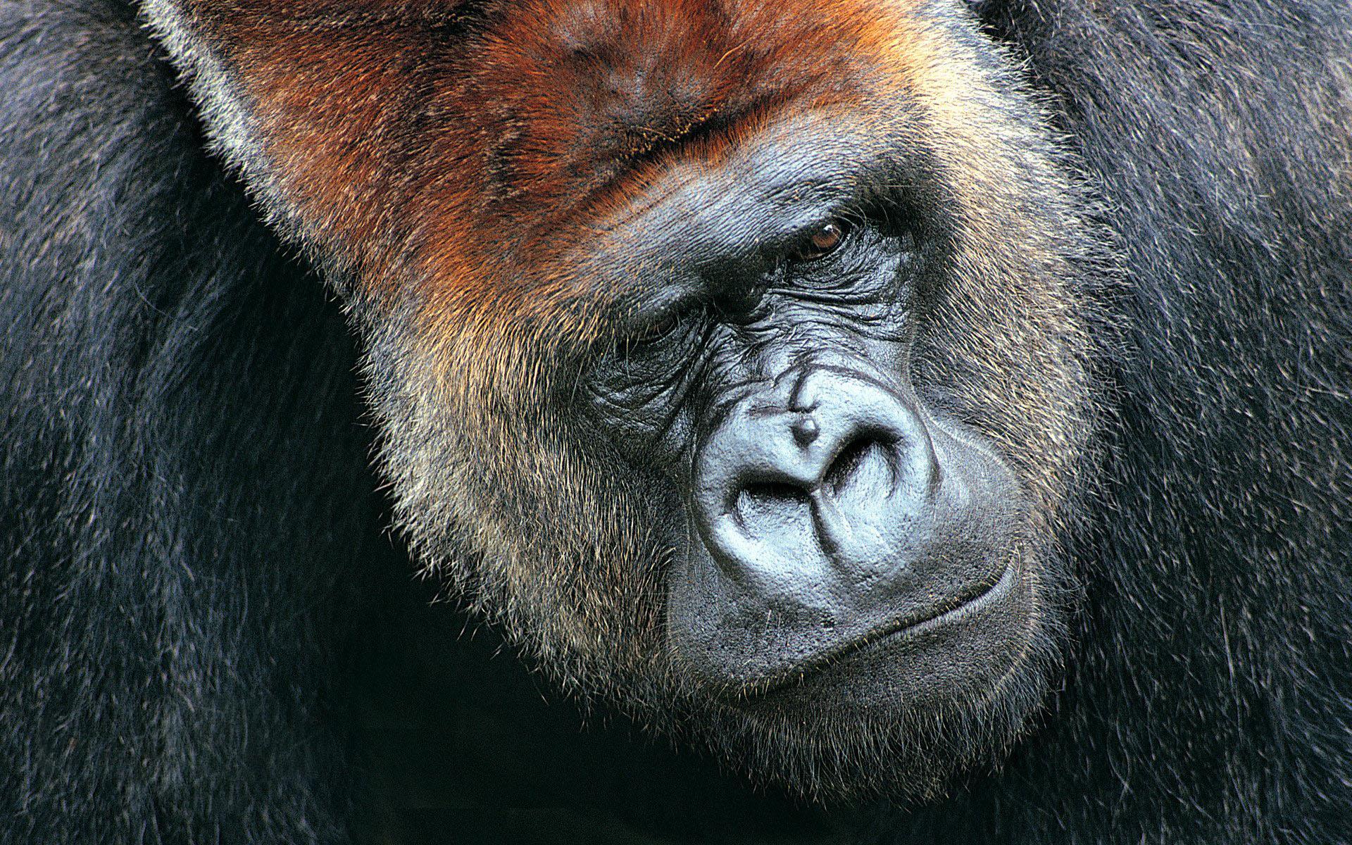 动物世界-猩猩猴子(1920x1200)壁纸 - 桌面壁纸【壁纸