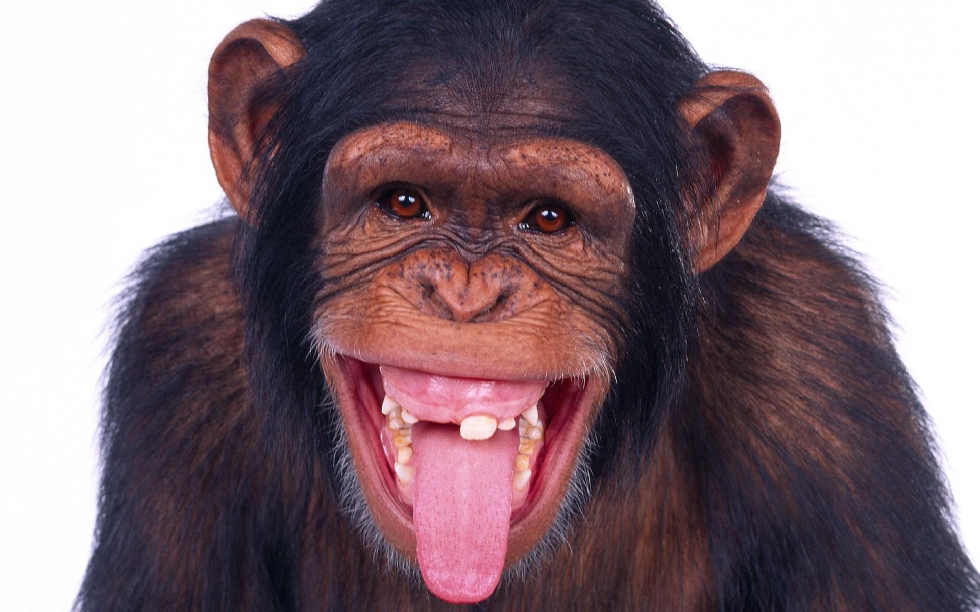 动物世界-猩猩猴子(1920x1200)壁纸
