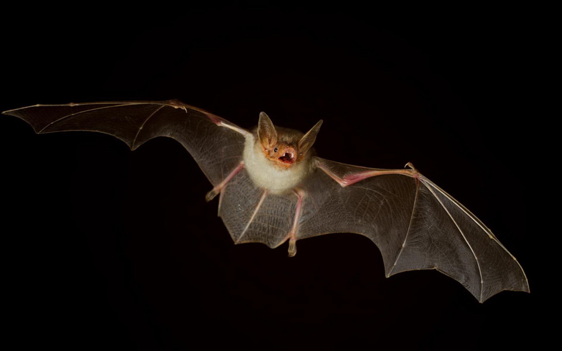 动物世界-蝙蝠宽桌面(1920x1200)壁纸