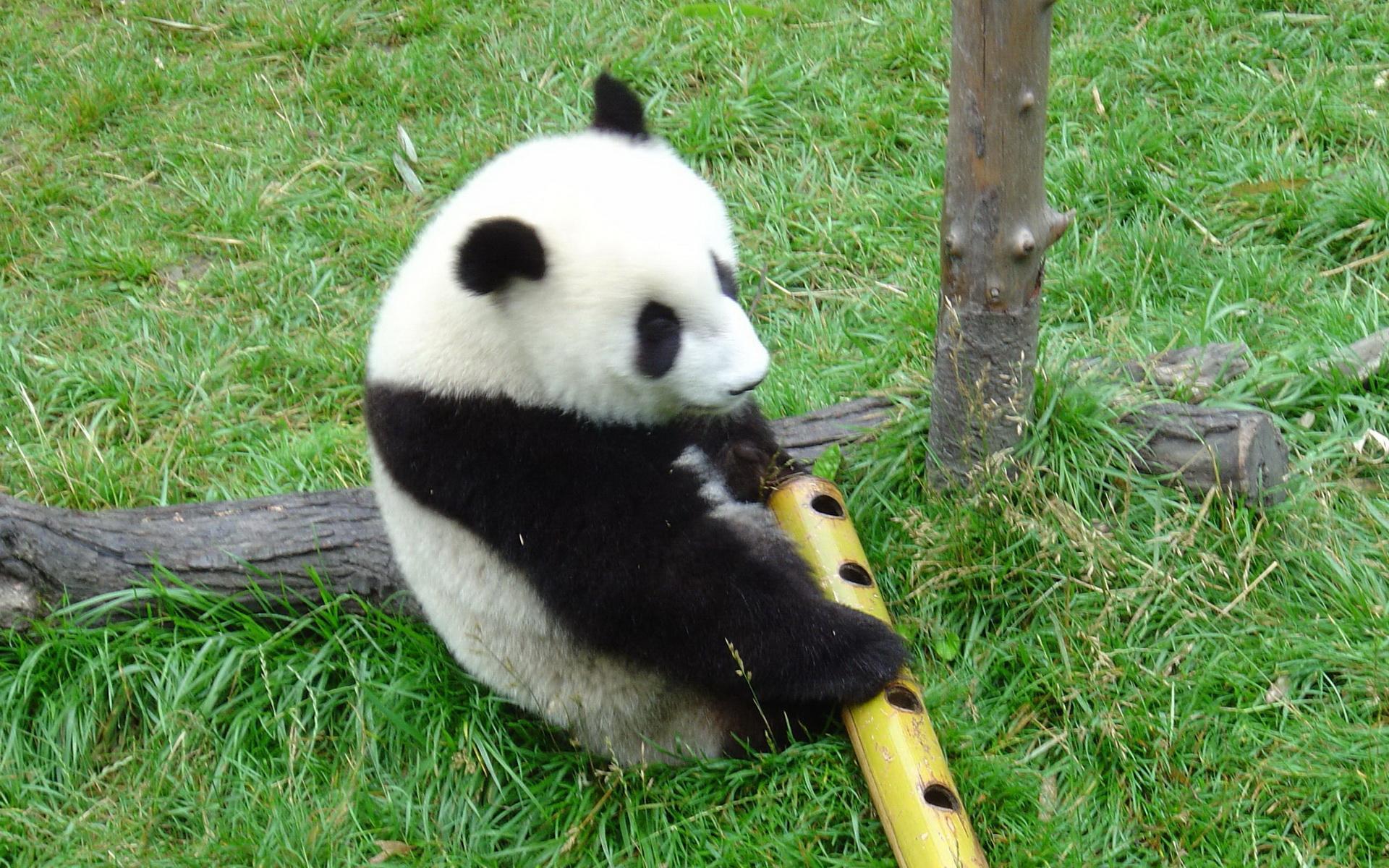 动物世界-大熊猫(1920x1200)壁纸