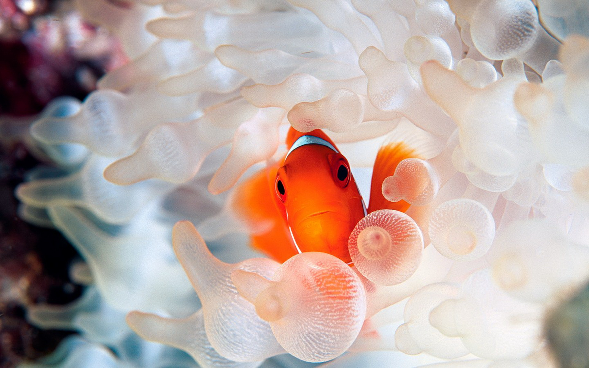 海底海葵和小丑鱼 1920x1200 壁纸 桌面壁纸 高清图片