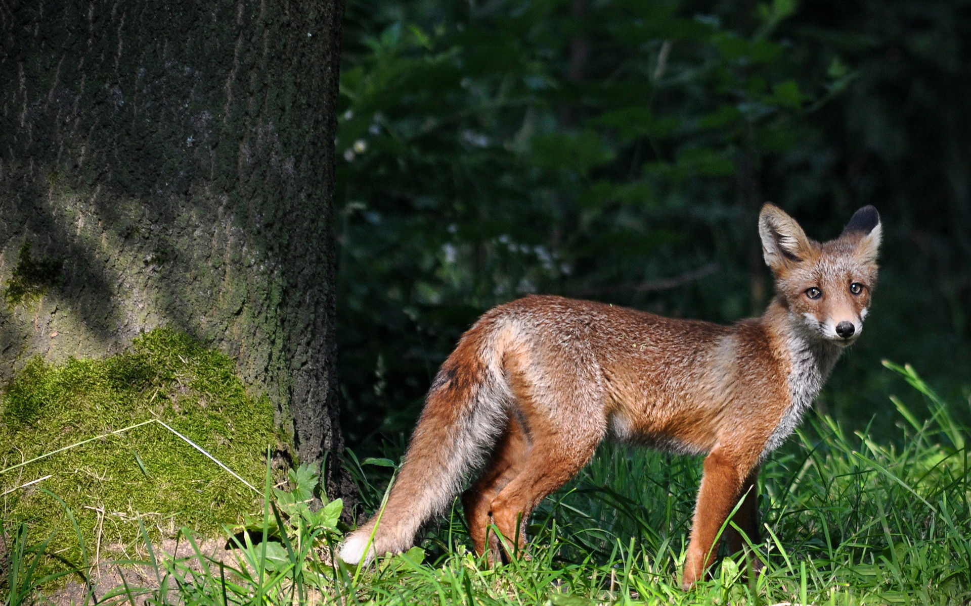 动物世界-狐狸桌面(1920x1200)壁纸 - 桌面壁纸【壁纸