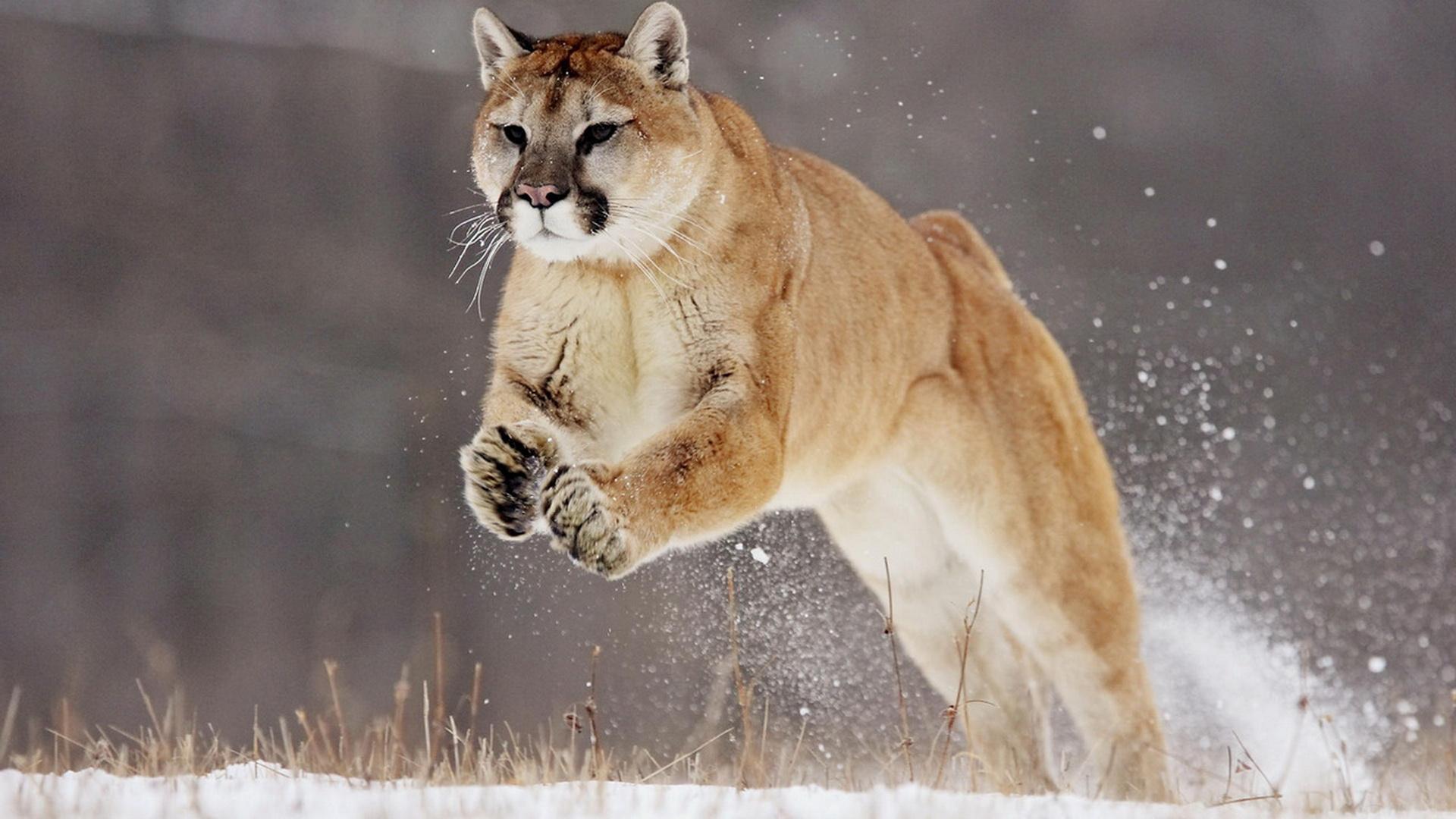 动物世界-狮虎豹05(1920x1080)壁纸