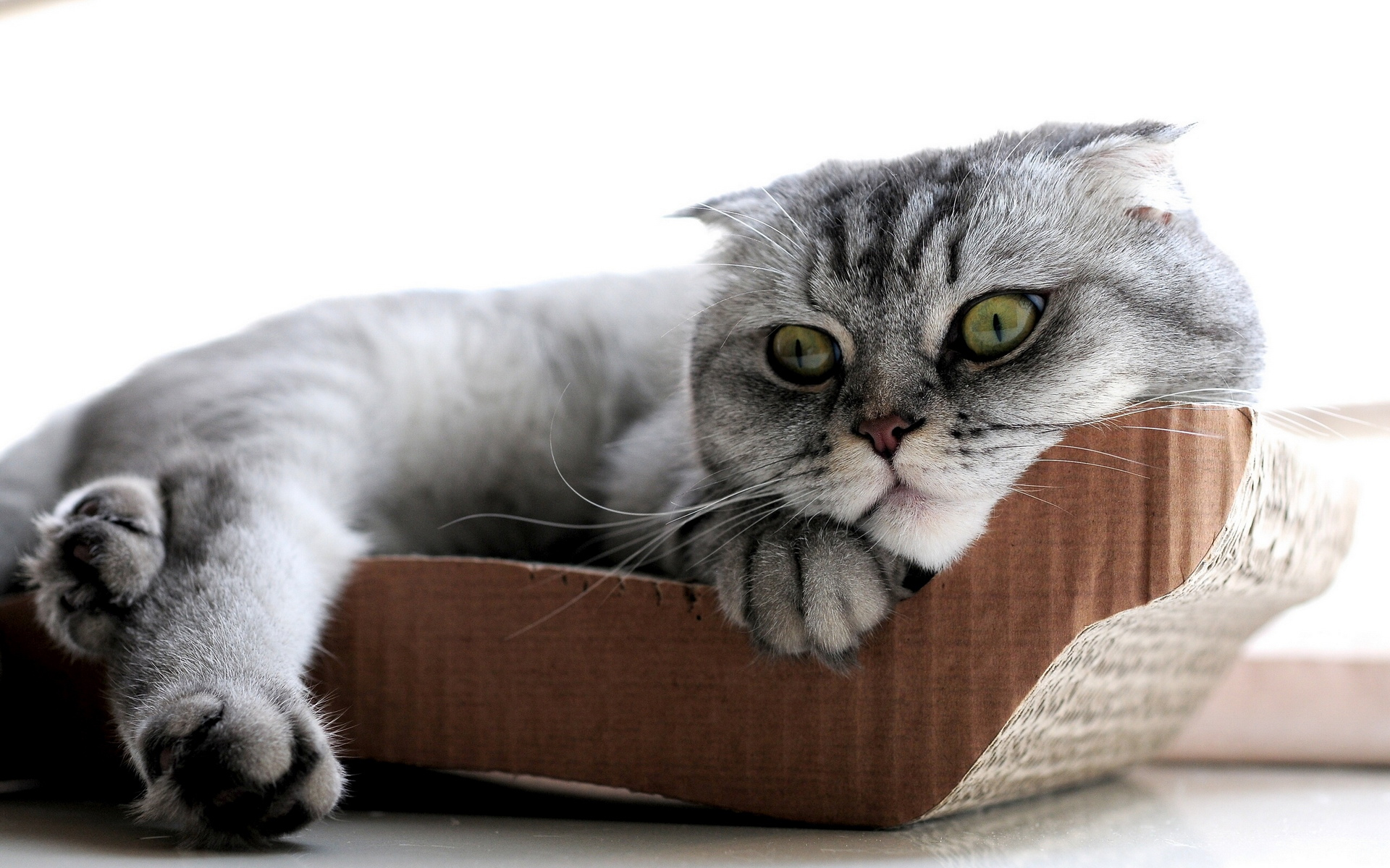猫咪 苏格兰折耳猫07