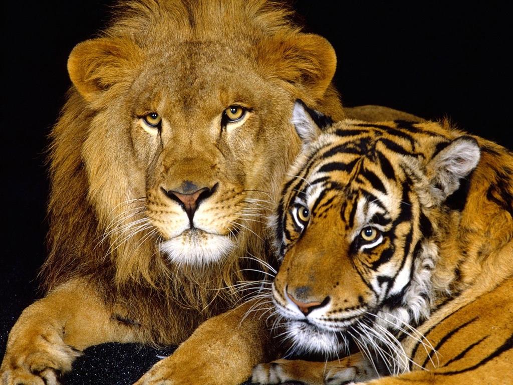 老虎 动物情趣